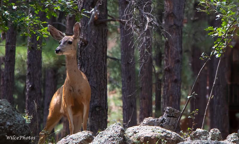 Mule Deer (Doe); Photo #2354;