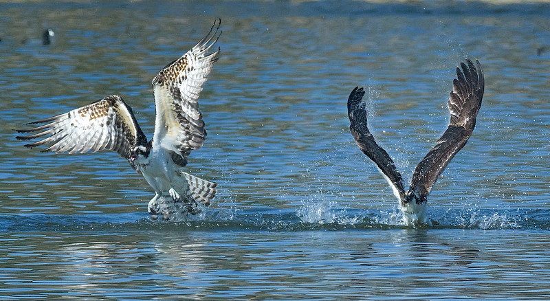 two osprey fight over a fish