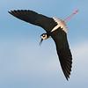 Black Neck Stilt in flight