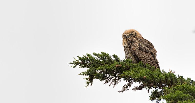 fledgling great horned owl