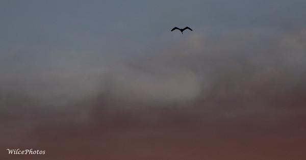 GreatBlueHeronAtSunset(SecondPerspective)  (Photo#8891)
