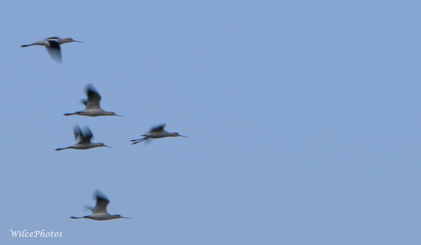 Avocet Flock; (Photo #3911)