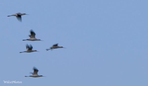 Avocet Flock; (Photo #3911)