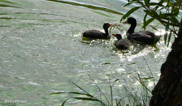 Mother Coot And Chicks (#7199)