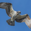 Osprey searches