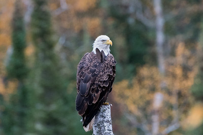 Majestic Bald Eagle looking on