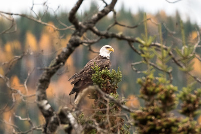 Bald Eagle on evergreen tree