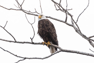 Bald Eagle watching closely