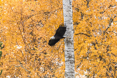 Bald Eagle soars among fall foliage