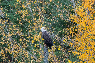 Bald Eagle in fall foliage