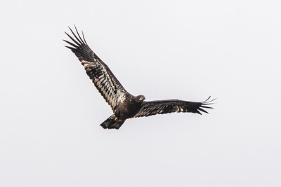 Curious immature Bald Eagle