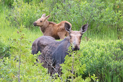 Female Moose and Calf, Maine