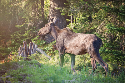 Moose - Rangeley Lakes Region, Maine
