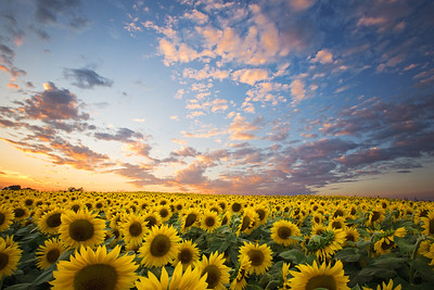 Field of Sunflowers, Newburyport, Massachusetts