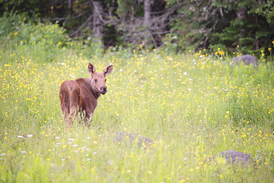 Moose Calf - Rangeley Lakes Region, Maine