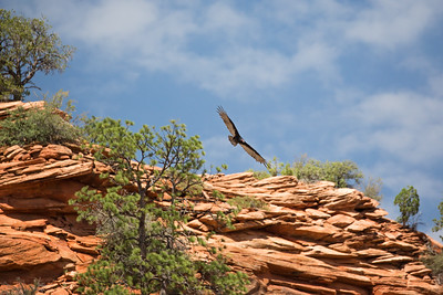 Buzzard Flying over Zion National Park, Utah