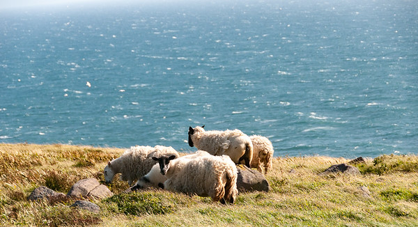 Black-faced Sheep, Cape St. Mary's, Newfoundland