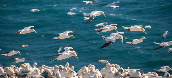 Birds, Cape St. Mary's, Newfoundland