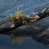 Sedge Growing in a Rock Crack