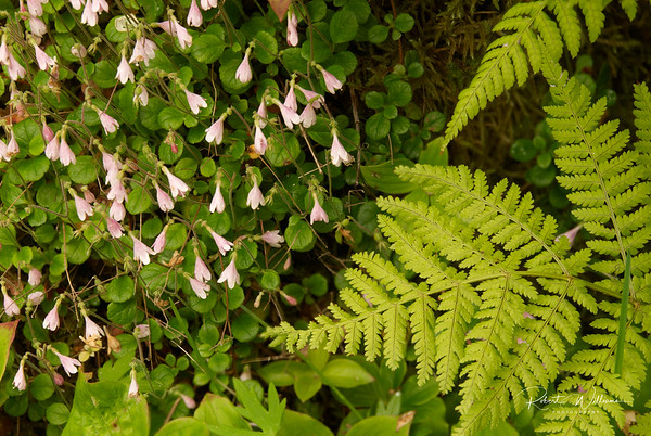 Twinflower and Ferns on the Southeast Brook Falls Trail
