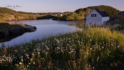Daisies by the Water, Herring Neck, Newfoundland
