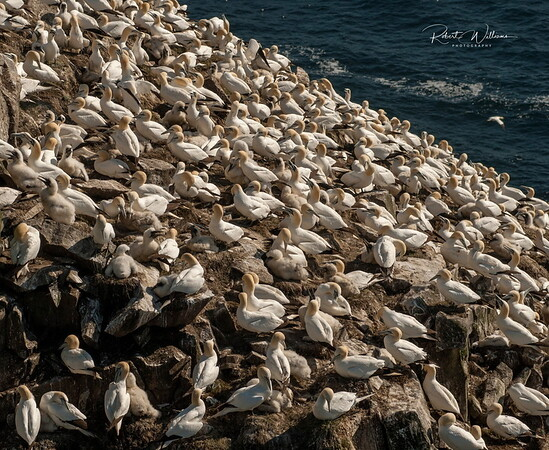 Northern Gannet colony at Cape St. Mary's Newfoundland