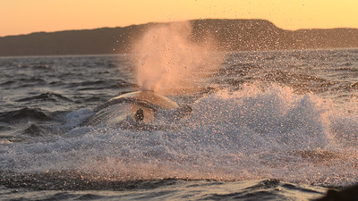 Thar she blows - Humpback Whale