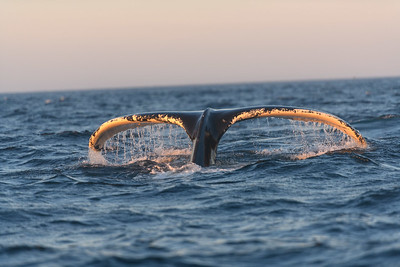 whale tail at sunrise
