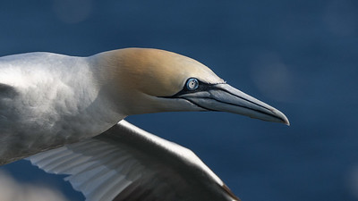 Close encounter - Northern Gannet