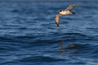 Manx Shearwater in flight