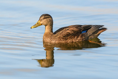 Black Duck Deadmans Pond - St. Johns Newfoundland