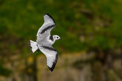 Black-legged Kittiwake (Male) in Flight