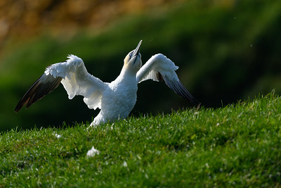 Gannet shaking out feathers