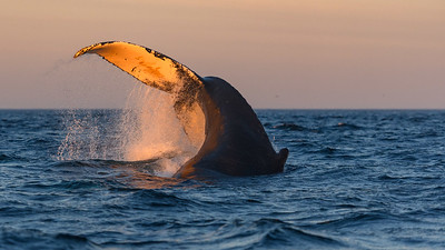 Humpback Whale tail slap at dawn