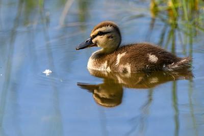 Black Duck Duckling - Newfoundland