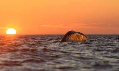 Humpback Whale tail at sunrise