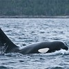 Orca in the Atlantic Ocean<br /> Newfoundland Photo Tours<br /> <br /> ray@raymondbarlow.com<br /> Nikon D300<br /> 1/400s f/4.0 at 200.0mm iso400