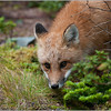 Newfoundland Red Fox