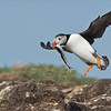 """Puffin in Flight with Lunch<br /> Raymond's Newfoundland Photo Tours<br /> <br />  <a href=""""http://www.raymondbarlow.com"""">http://www.raymondbarlow.com</a><br /> Nikon D4S SLR ,Nikkor 600 mm f/4 ED<br /> 1/6400s f/7.1 at 600.0mm iso1600"""