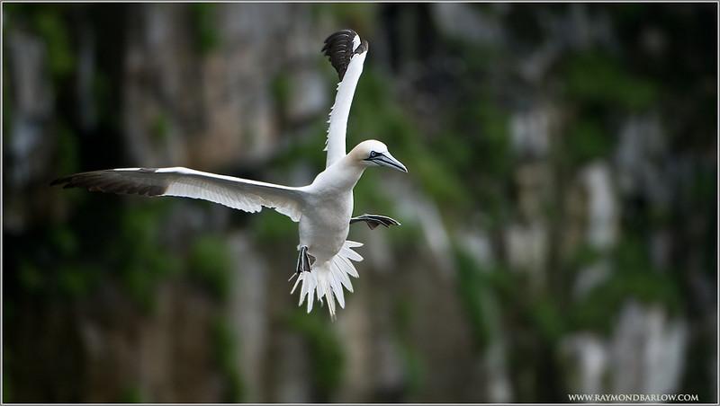 Gannet Incoming