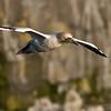 DSC_6421 Northern Gannet Nesting  1200 web