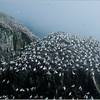 Cape St. Marys Gannet Colony