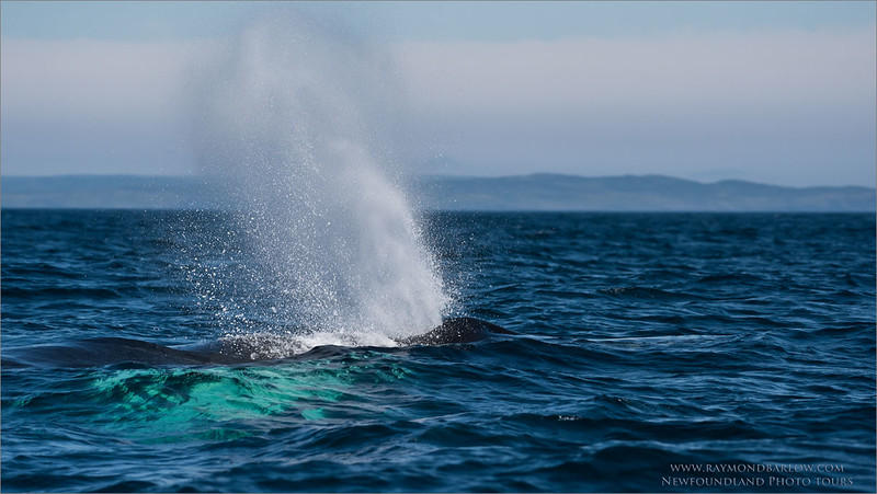 """Humpback Whale<br /> Raymond's Newfoundland Photo Tours<br /> <br /> Up to 80,000 pounds, and can eat 1,000 pounds of fish a day!<br /> <br />  <a href=""""http://www.raymondbarlow.com"""">http://www.raymondbarlow.com</a><br /> Nikon D810 ,Nikon AF-S 200-500mm f/5.6 E ED VR Nikkor<br /> 1/6400s f/6.3 at 210.0mm iso800"""