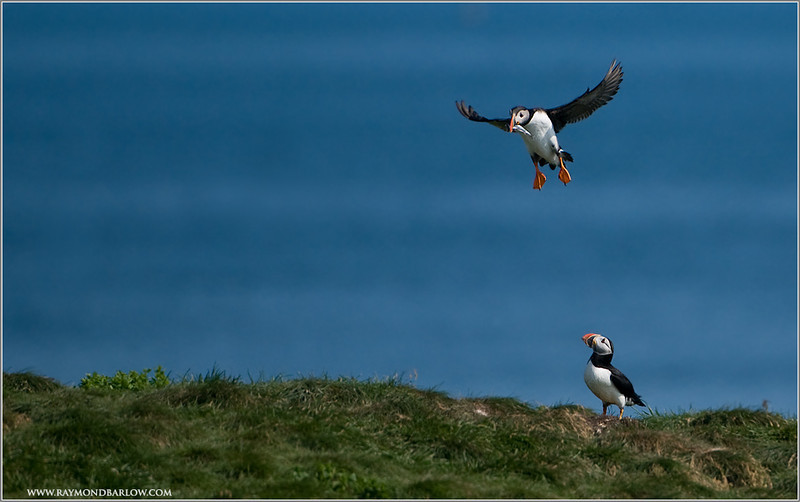 Breakfast Incoming! Atlantic Puffins Flight 401!