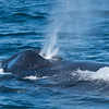 DSC_7530 Humpback Whale Blow! 1200 web