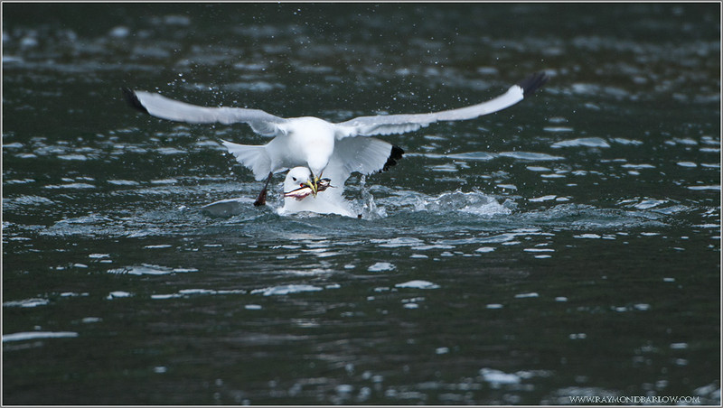 Kittiwake Fight for Capelin