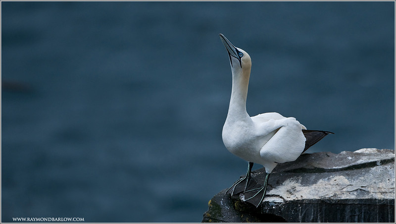 Gannet Ready to Fly