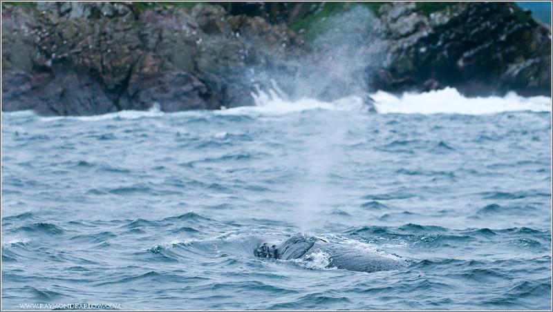 Humpback whale spray web