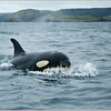 Killer Whales attack Minke whale