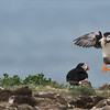 Atlantic Puffins<br /> <br /> Newfoundland Photo Tour - July 2017<br /> Raymond's Canada Nature Photography Tours<br /> <br /> ray@raymondbarlow.com<br /> Nikon D4S SLR ,Nikkor 200-400mm f/4G ED-IF AF-S VR<br /> 1/8000s f/7.1 at 400.0mm iso2000